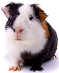 guinea pit